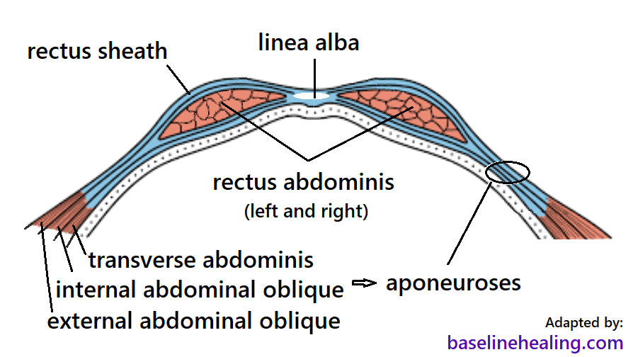 Cross section view showing the rectus sheaths containing the rectus abdominis muscles. The rectus sheaths are formed from the aponeuroses of the lateral abdominal muscles on their way to meeting midline to form the linea alba at the front of the abdomen. The rectus abdominis muscles threading through the sheath, like a ribbon in a tunnel.
