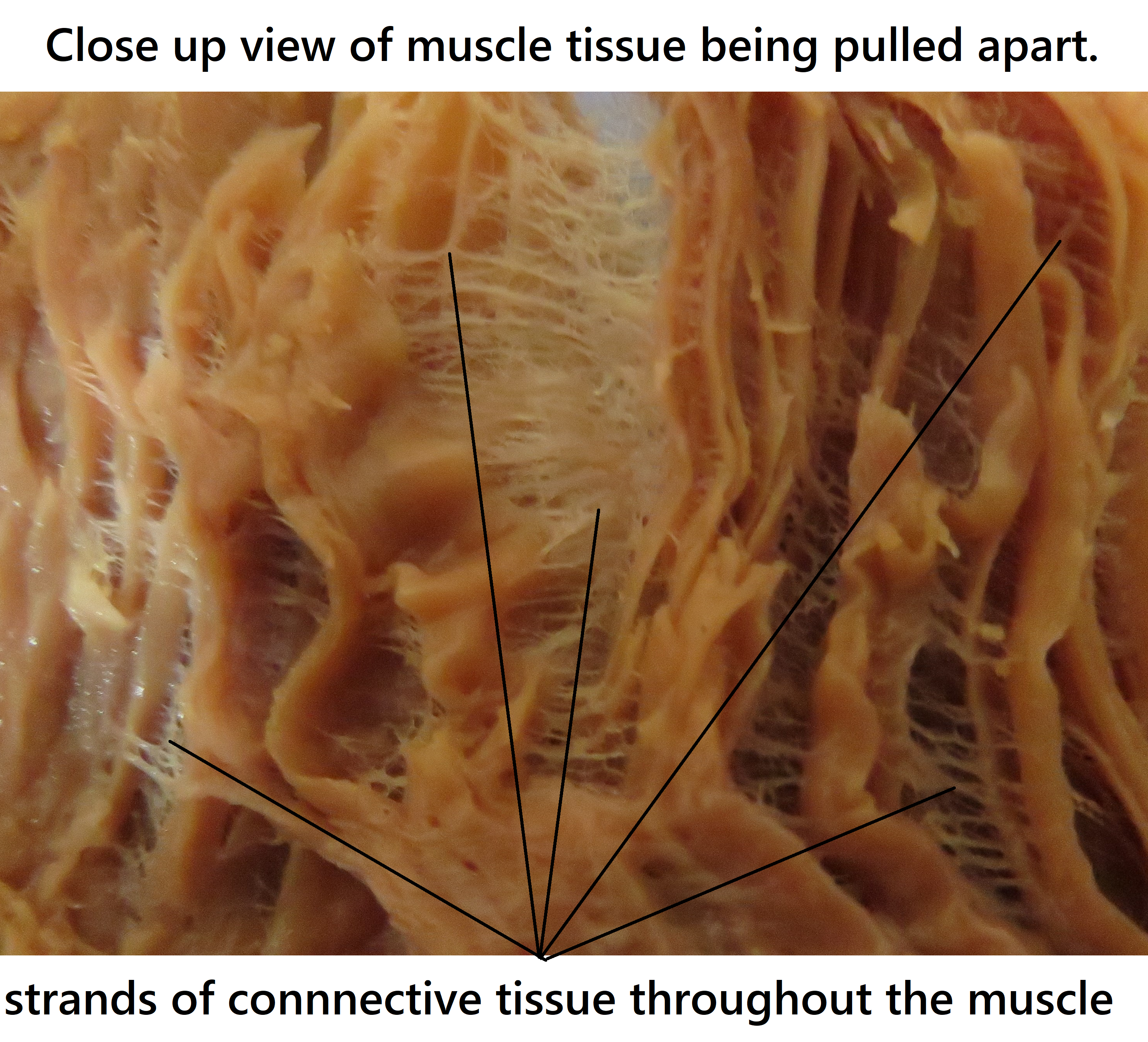 muscle tissue pulled apart showing the strands of connective tissue that are throughout it.