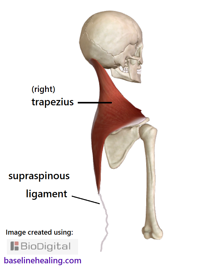 the trapezius muscles from neck to mid-back and the supraspinous ligament continuing to the lumbar area, a thin cord down the midline of the back of the spine.