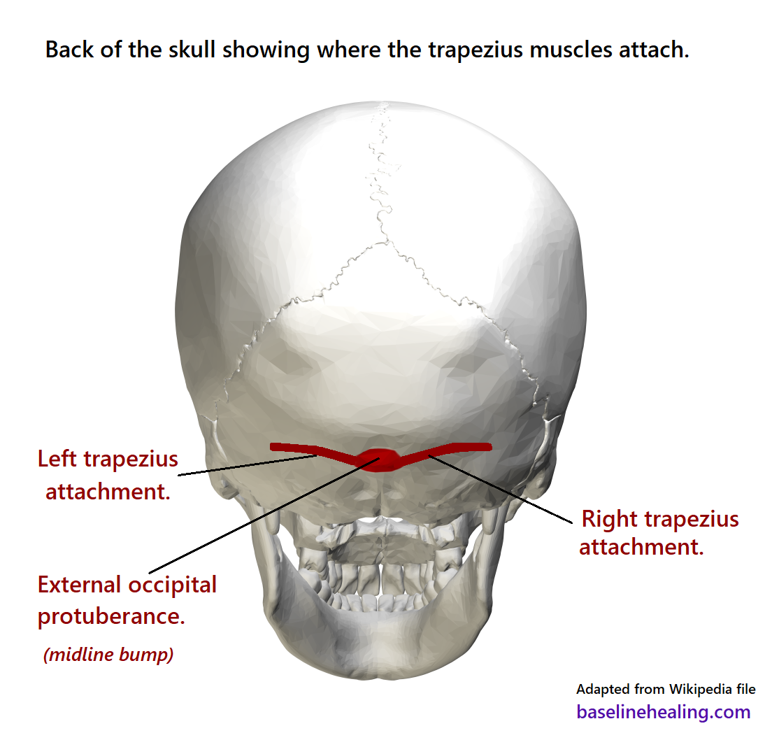Image of the back of the skull with the attachment areas of the trapezii marked. The external occipital protuberance is located midline with a ridge of bone either side. Linear attachments, almost horizontal, with a slight curve, at the back of the head so the trapezius muscles drop down like a curtain from the back of the skull.