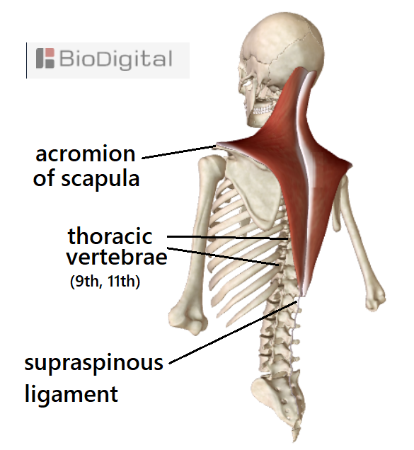 skeleton and trapezius muscles off-center view from back. The middle trapezius consists of horizontal running fibres extending from midline - the supraspinous ligament and upper thoracic vertebrae - to where the trapezius attaches to the acromion of the scapula.