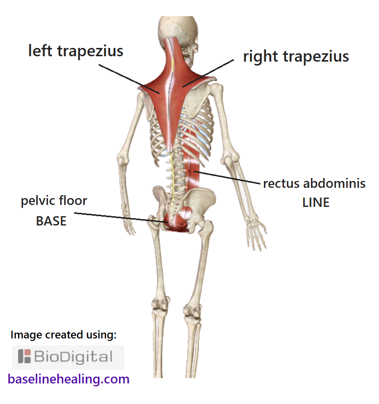 human skeleton, off-center view from the back showing the trapezius muscles from back of the head to mid-back, extending out towards each shoulder. Together, the trapezius muscles form a diamond-shaped sheet of muscle. The lower point midline on the spine level with the lowest ribs. Extending upwards and outwards to the shoulders. Then up and in, towards the head, curving up the neck. Also showing the baseline muscles: the rectus abdominis muscles at the front of the abdomen and the pelvic floor muscles spanning the pelvic canal.