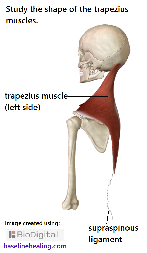 the left trapezius muscle seen from the side showing the curves of the muscle, sculpted down the back of the neck and extending forwards to attach to the collar bones. The trapezius muscles are thin, like a blanket of muscle over the upper back and neck that should be smooth and wrinkle free, able to extend in all directions to guide the upper body, head and arms, through a full range on natural movement. Also showing the midline supraspinous ligament that extends down the spine from the bottom of the trapezius.
