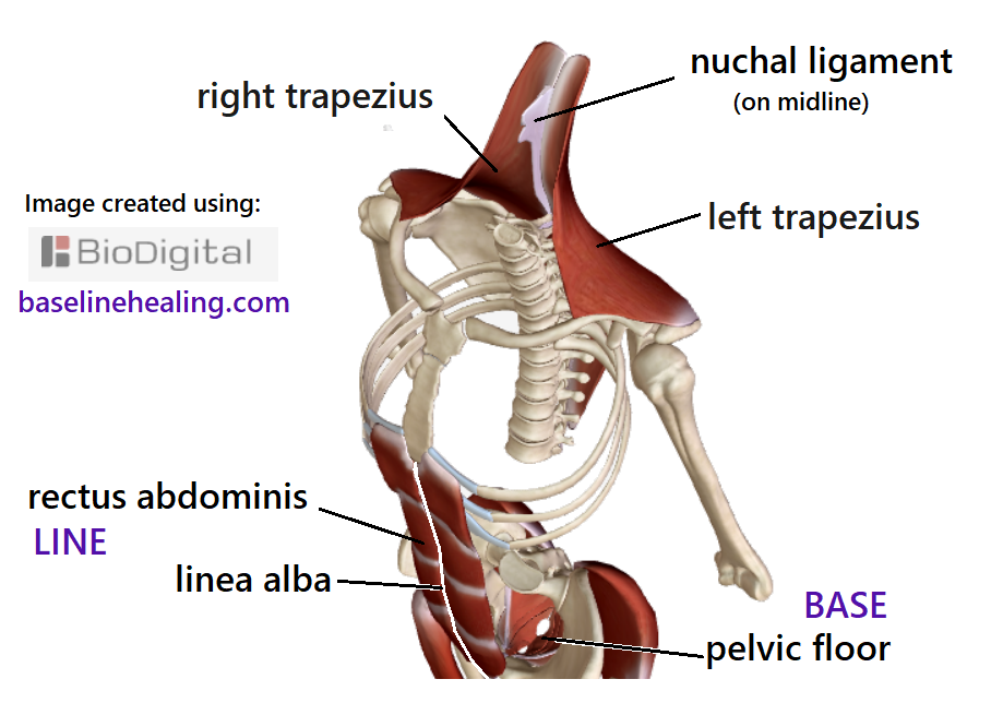 View from front, looking down. Showing the bones of the upper body, the ribs and pelvis. The left and right trapezius muscles with the nuchal ligament midline. The baseline muscles are also shown, the rectus abdominis up the front of the abdomen, either side of the midline linea alba, and the pelvic floor as the base of the body.  With Base-Line support in place which aligns the lower body, the trapezius muscles correctly align the upper body when free of physical restrictions.