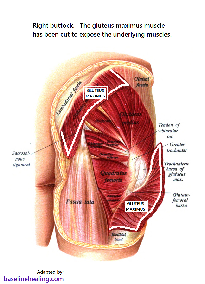 Muscles of the right buttock. The central section of the gluteus maximus, the most superficial muscle, has been removed to expose the smaller muscles that lie underneath, including the piriformis. The smaller muscles fan out over the back of the pelvis and are prone to syndromes and strain when the covering gluteus maximus is not adequately used.